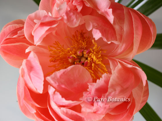 Peach coloured peony used for wedding flowers