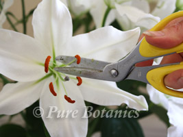 cutting out the pollen from lily wedding flowers