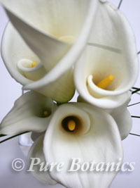 Close up of white calla lilies